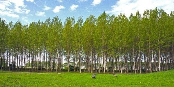 رونق صنعت چوب با زراعت صنوبر