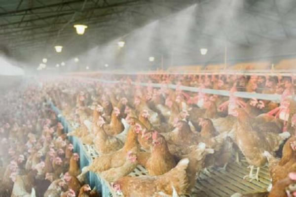 راه اندازی 44 واحد مرغداری تازه در شهرستان خاش
